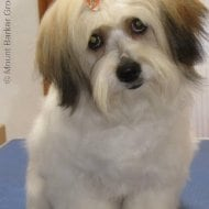 A beautiful Maltese Shih Tzu styled by Mount Barker Grooming