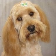 A beautiful Spoodle styled by Mount Barker Grooming