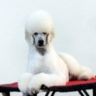A beautiful Standard Poodle styled by Mount Barker Grooming